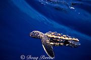 loggerhead sea turtle hatchling, Caretta caretta, threatened species ), swimming in open ocean off Florida ( Western Atlantic Ocean )