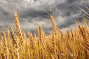 Wheat almost ready to harvest in Hillsdale, Wyoming.