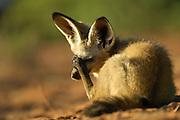 Bat-eared fox (Otocyon megalotis) | Wenn die Schatten lang sind - also in den frühen Morgenstunden und am Abend - wird es Zeit, den Ruheplatz zwischen den Büschen zu verlassen. Dieser  Löffelhund (Otocyon megalotis) hat die heißeste Zeit des Tages, ebenso wie die Nacht, verschlafen. Jetzt sind die Temperaturen nicht mehr zu hoch, um zu jagen, aber auch noch nicht so niedrig, dass die wichtigstenBeutetiere, die Insekten, nicht mehr aktiv sind.
