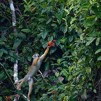 A squirrel monkey (Saimiri sciureus) picks flowers in the jungle canopy of Peru's Amazon Jungle.