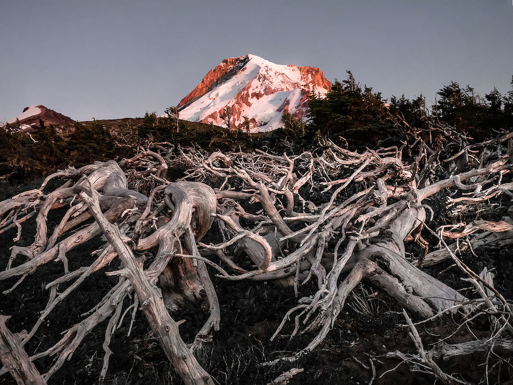 The setting sun has dropped below the horizon and is directly illuminating only Mt. Hood in this photo of a dying whitebark pine. The absence of greenery exposes the structure of this dense mat of branches growing low to the ground that characterize these trees at high altitudes. These mats are dense enough to walk on and provide shelter for small birds and mammals, especially during winter months when high winds are common.