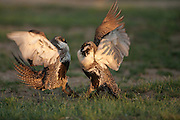 Male sage grouse fighting on lek in spring