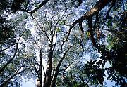 Koa Trees, Island of Hawaii<br />