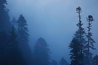 Russia, Caucasus. Teberdinsky biosphere reserve. Fir tree - Nordmann Fir (Abies nordmanniana) in fog Near Dombay.
