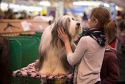 © Licensed to London News Pictures. 10/03/2013. Birmingham, UK. Dogs and owners arrive on the final day of the 2013 Crufts at the National Exhibition Centre (NEC). Crufts, which is the largest annual dog show in the world, hosts over 20,000 dogs and owners who compete in a variety of categories. Photo credit: Alison Baskerville/LNP