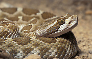 Northern Pacific Rattlesnake, Crotalus oreganus is a venomous pit viper species found in North America in the western United States, parts of British Columbia, and northwestern Mexico.