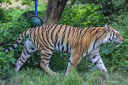 THEMENBILD - Der Sibirische Tiger, auch Amurtiger oder Ussuritiger genannt, ist eine Unterart des Tigers und die größte lebende Katze der Welt, aufgenommen am 19.05.2019 im Tiergarten Schönbrunn in Wien, Österreich // The Siberian Tiger, also known as Amurtiger or Ussuritiger, is a subspecies of the tiger and the largest living cat in the world, pictured on 2019/05/19 at the Tiergarten Schönbrunn at Vienna, Austria. EXPA Pictures © 2019, PhotoCredit: EXPA/ Lukas Huter