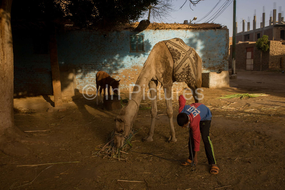 Mustafa, a young Egyptian brings soft sugarcane branches for horses and camels at the Pharaohs Stable (pharaohsstables.com), a business dependent on tourism based in the village of Bairat on the West Bank of Luxor, Nile Valley, Egypt. Workers of all ages like this are dependent of the tourism industry and therefore badly affected by the downturn. According to the country's Ministry of Tourism, European visitors to Egypt is down by up to 80% in 2016 from the suspension of flights after the downing of the Russian airliner in Oct 2015. Euro-tourism accounts for 27% of the total flow and in total, tourism accounts for 11.3% of Egypt's GDP so communities like this are suffering economically, as a result.