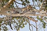 A beautiful Leopard (Panthera pardus) sleeps in a Fig-tree at Seronera, Serengeti, Tanzania.