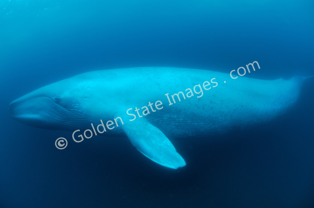Full length profile, nose to fluke. <br /> <br /> They can reach lengths of over 90 feet and attain weights of 150 tons or more. <br /> <br /> Range: Found worldwide. In the Pacific Ocean they range from the Arctic to the Gulf of Mexico    <br /> <br /> Species: Balaenoptera musculus