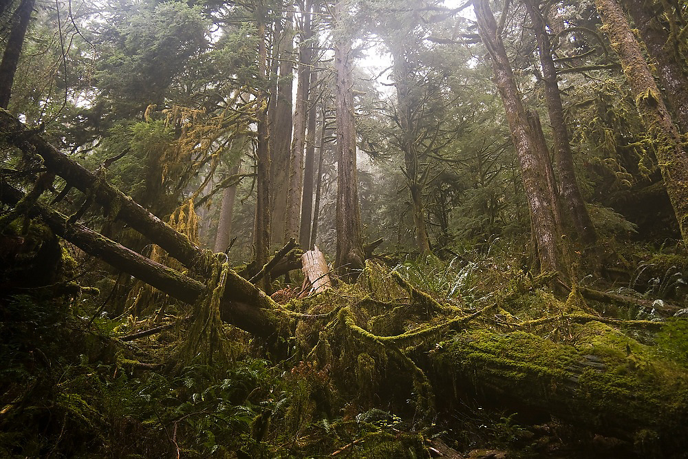 Fallen trees have cleared an opening in an old growth coniferous forest along the Boulder River Trail, Mount Baker-Snoqualmie National Forest, Washington.
