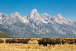 Bison enjoying a sunny day in Grand Teton National Park.