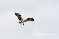 00783-01801 Osprey (Pandion haliaetus) in flight to nest with food Cruickshank Sanctuary - Brevard County, FL