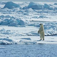 Polar Bear standing on the pack ice in the Arctic Ocean near Svalbard.
