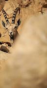 Young male Nubian Ibex (Capra ibex nubiana AKA Capra nubiana) Photographed in the Judean Desert, Israel
