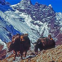 A sherpa boy tends yaks carrying loads for trekkers  in  Khumbu region of Nepal's Himalaya.
