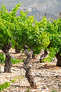 Domaine l'Aigueliere. Montpeyroux. Languedoc. Vines trained in Gobelet pruning. Old, gnarled and twisting vine. Syrah grape vine variety. Soil argilo-calcaire, clay and calcareous limestone. Terroir soil. France. Europe. Vineyard. Soil with stones rocks. Clay. Calcareous limestone.