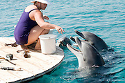 Israel, Eilat, Dolphin Reef Beach, Common Bottlenose Dolphin (Tursiops truncatus) trainer feeding the dolphins