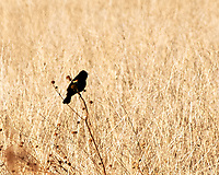 Red-winged Blackbird (Agelaius phoeniceus). Alamosa National Wildlife Refuge, Colorado. Image taken with a Nikon D300  camera and 80-400 mm VR lens