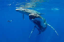 Humpback Whale mother and calf , Megaptera novaeangliae, surface to breathe, dwarfing a snorkeling photographer. Moorea, French Polynesia, Pacific Ocean