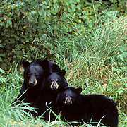 Black Bear, (Ursus americanus) Minnesota, female with two cub merging from brush and grass.