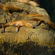 Stellar's sea lions relaxing in Aialik Bay in Kenai Fjords National Park Alaska