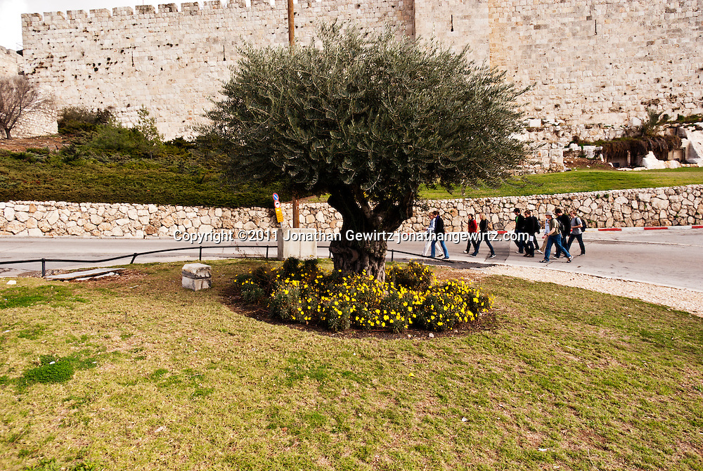 Pedestrians walk behind an olive tree just outside the walls of the Old City of Jerusalem. WATERMARKS WILL NOT APPEAR ON PRINTS OR LICENSED IMAGES.
