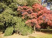 Japanese maple tree in autumn colour, Acer Palmatum, National arboretum, Westonbirt arboretum, Gloucestershire, England, UK