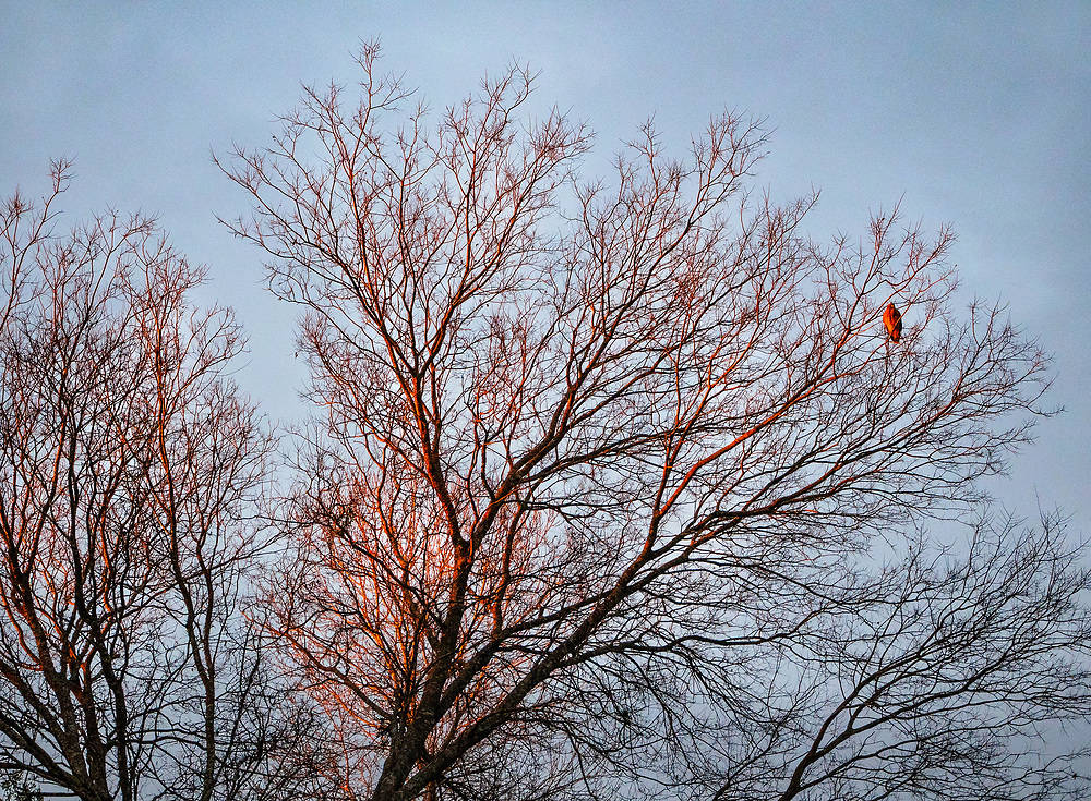 Hawk Perched in a Winter Tree, Austin, Texas