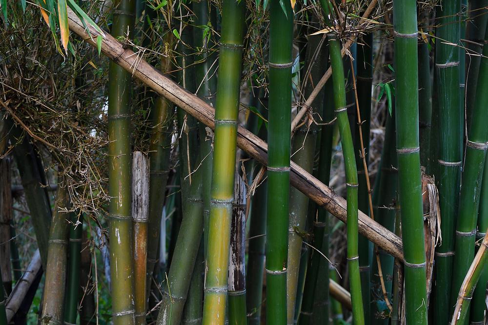 Bamboo growing at Tongbiguan nature reserve, Dehong prefecture, Yunnan province, China