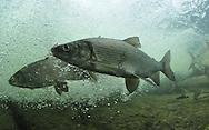 School of Lake Whitefish<br /> <br /> Paul Vecsei/Engbretson Underwater Photography