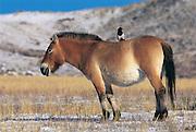 Prezewalski's horse (Equus caballus) & Eurasian magpie (Pica pica)<br /> Hustain Nuruu National Park<br /> Mongolia