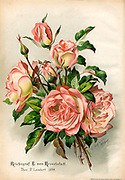 Hand painted and coloured Bouquet of pale pink roses 1900. Rosen-Zeitung, Organ des Vereins Deutscher Rosenfreunde, 1887 [Periodical of the German Rose Society (Vereins Deutscher Rosenfreunde)] by C. P. Strassheim
