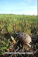 02539-001.12 Ornate Box Turtle (Terrapene ornata) Prairie Ridge State Natural Area, Marion Co. IL