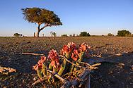Die seltene Pflanze Hoodia gordonii im ersten Licht des Morgens, Tuli Block, Botswana<br /> <br /> The rare Hoodia gordonii plant in the first light of the morning, Tuli Block, Botswana