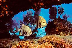 Atlantic spadefish, Chaetodipterus faber, Benwood ship wreck, Molasses Reef, Key Largo, Florida Keys National Marine Sanctuary, Atlantic Ocean.