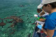 Cecilia Guerrero & Vanessa Figueroa monitoring<br /> Nurse Shark (Ginglymostoma cirratum)<br /> Shark Ray Alley<br /> Hol Chan Marine Reserve<br /> near Ambergris Caye and Caye Caulker<br /> Belize<br /> Central America