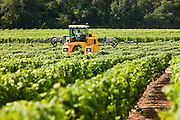 Man at work with vine tractor crop-spraying vines in a vineyard at Parnay, Loire Valley, France