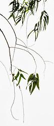 Eucalyptus camaldulensis #3