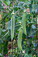 Lincoln Homesteadervariety pea pods hanging on the vine in a backyard organic vegtable garden in the Fraser Valley of British Columbia, Canada