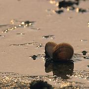 A butter clam shell on the tidal flats split by a feeding bear in coastal Alaska.  Katmai National Park, Alaska