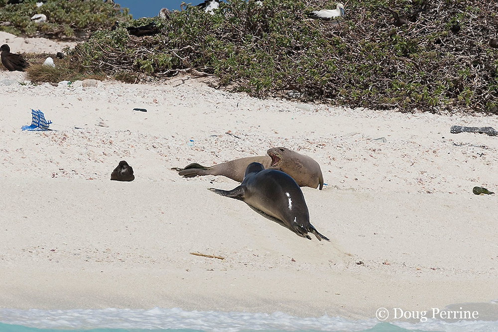 an endemic Hawaiian monk seal, Monachus schauinslandi, reacts aggressively to another seal (wet from the water) which has approached the first (dry) seal, which had been sleeping in the sun, French Frigate Shoals, Papahanaumokuakea Marine National Monument, Northwest Hawaiian Islands, USA ( Central Pacific Ocean )