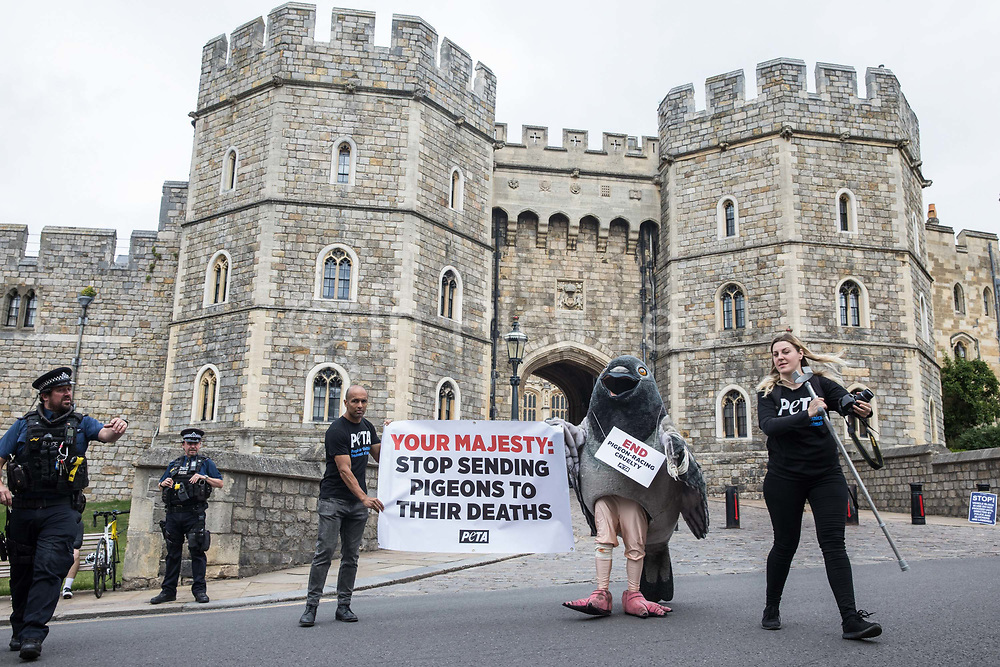 A bandaged giant pigeon is used by PETA activists to protest against pigeon racing outside Windsor Castle on 1st July 2020 in Windsor, United Kingdom. Animal rights charity PETA UK is calling on the Queen, who is currently isolating at Windsor Castle, to cut ties with pigeon racing following a PETA US investigation which revealed that all eight birds sent by the Queen to participate in the 2020 South African Million Dollar Pigeon Race SAMDPR died in quarantine and that fewer than a quarter of the birds from all over the world entered in the race subsequently complete it.