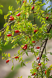 Wild rosehips growing by a lane. Rosa canina - Dog rose, Briar rose, Cankerberry, Hep briar, Bird briar, Common brier, Cat whin