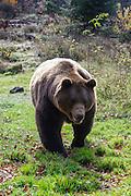 Braunbär, Bärengehege, Tierfreigelände Neuschönau am Nationalparkzentrum Lusen, Nationalpark Bayerischer Wald, Bayern, Deutschland | Brown bear, bear enclosure, animal enclosures Neuschönau at the National Park Centre Lusen, national park Bavarian Forest, Bavaria, Germany