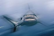 Sharky Time in Micronesia
