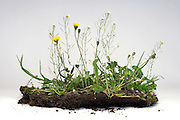 various wild grasses with soil in studio setting on a white background