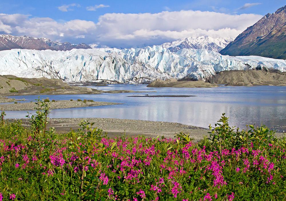 Alaska. Matanuska Glacier scenic view with wild sweet pea (Hedysarum Mackenzii) in the foreground.