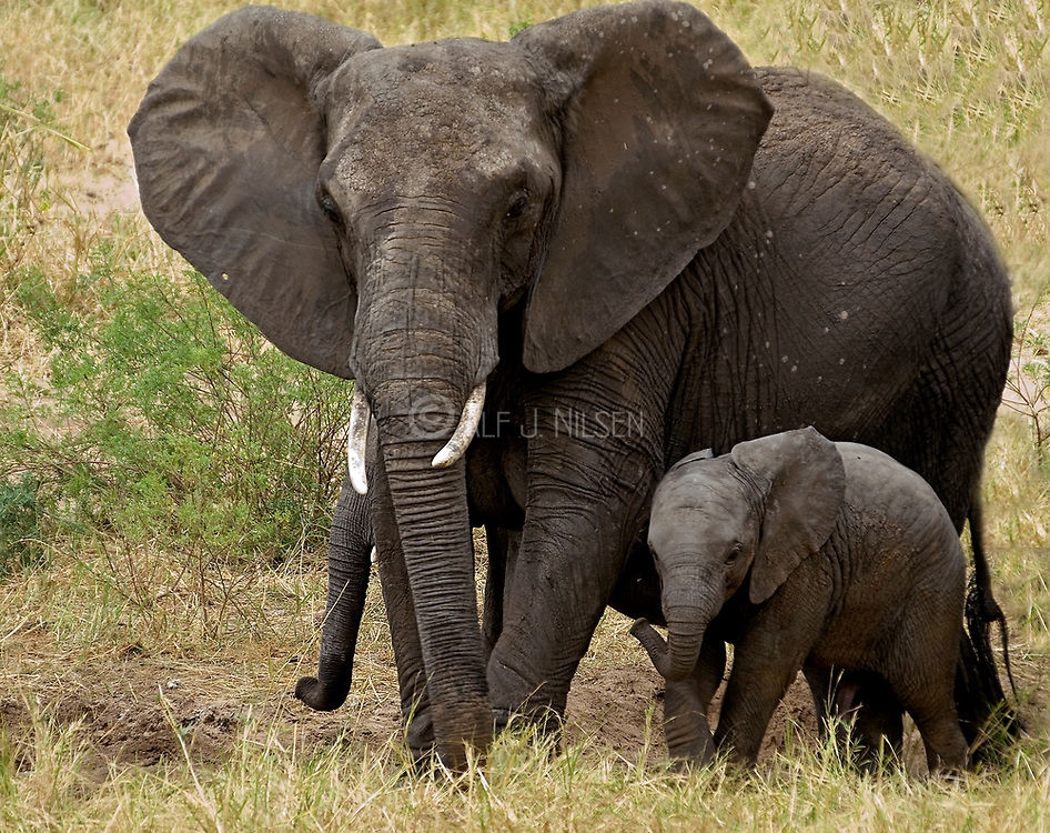 Mother and baby African Elephant (Loxodonta africana) in Tarangire NP, Tanzania.