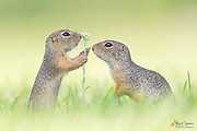 Two European ground squirrels seem to talk - but as always it's about food and eating.